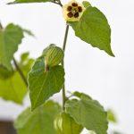 Die unscheinbare Andenbeere-Blüte