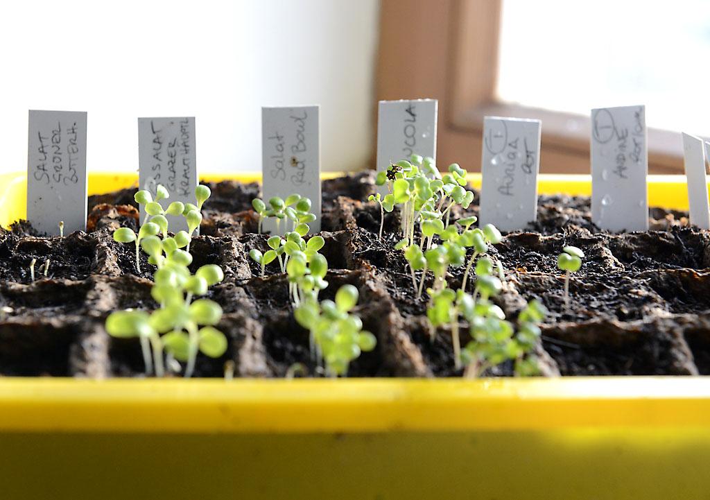 Petzis Garten und Küche: Die ersten Samen keimen: Rucola und Eissalat