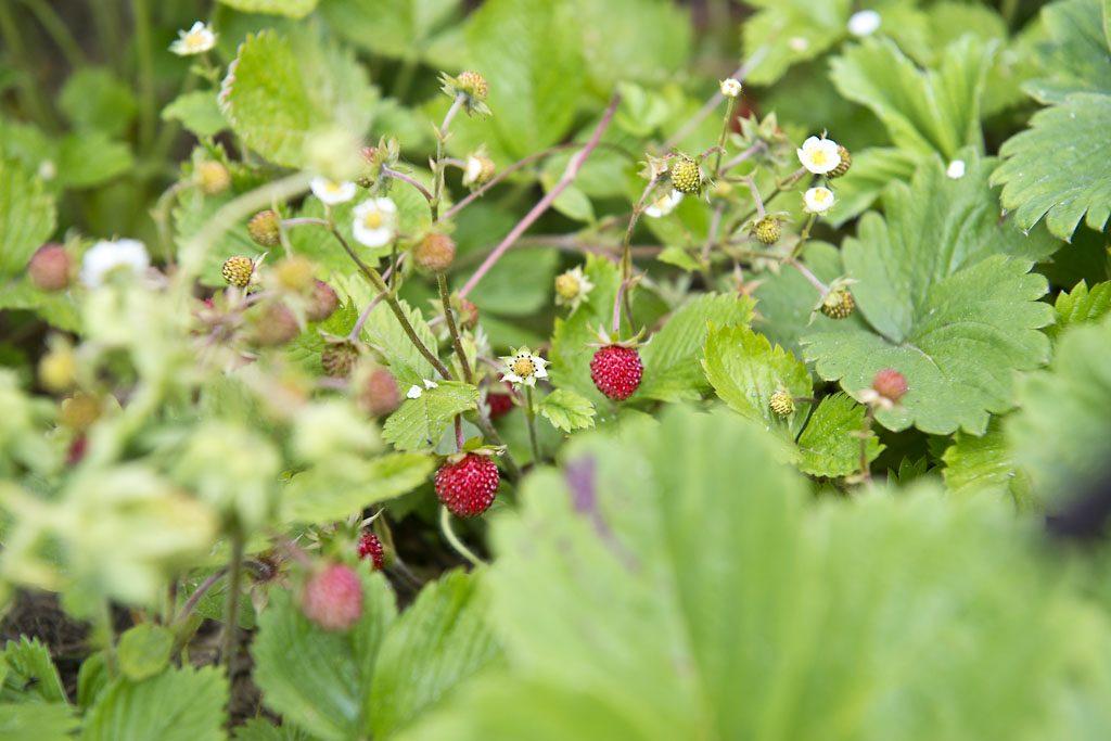Petzis Garten und Küche: die wunderbare Walderdbeere