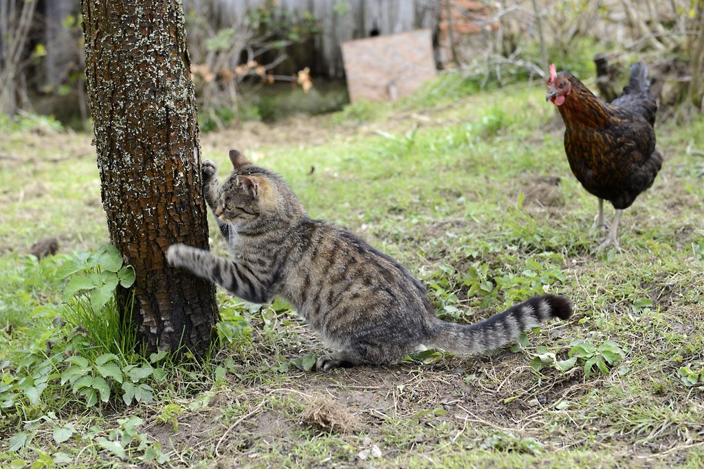 Petzis Garten und Küche: bei den Hühnern . . . Freilandhaltung