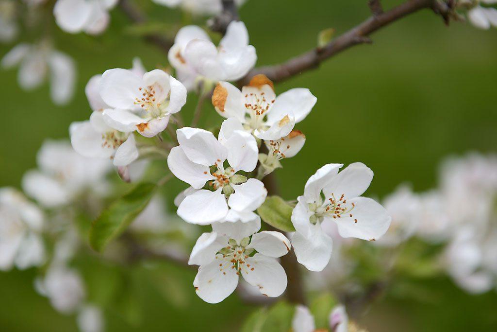 Petzis Garten und Küche: die Apfelbäume blühen . . .