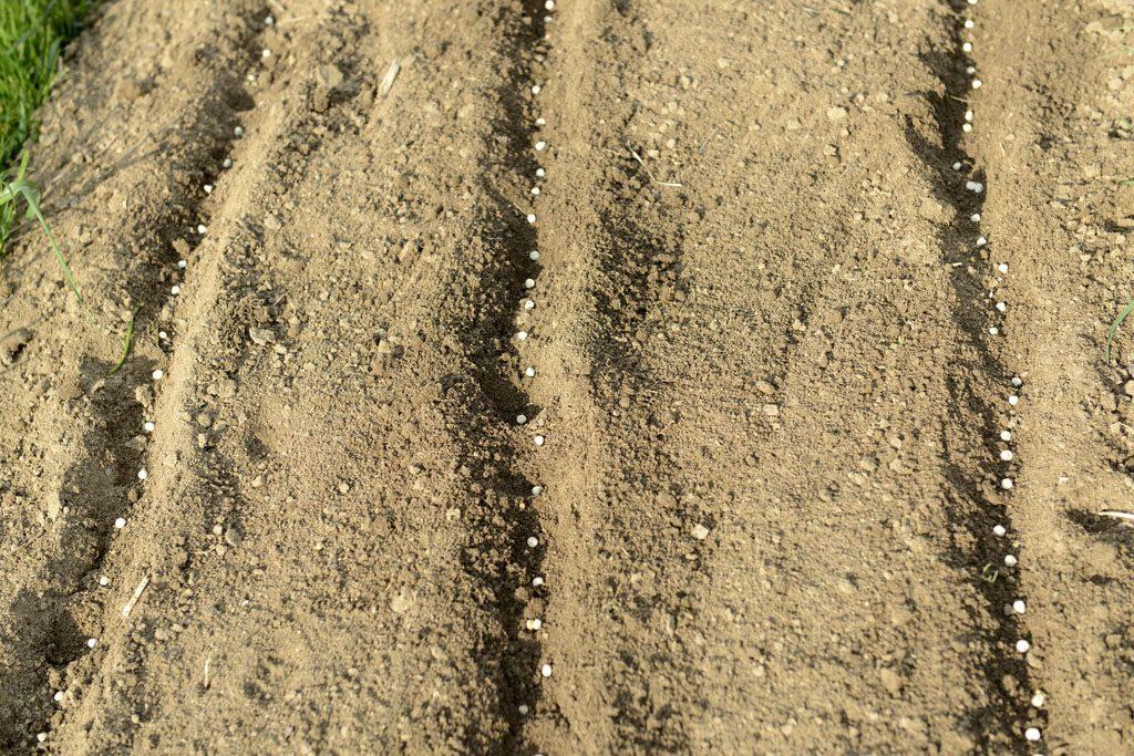 PEtzis Garten und Küche: Erbsen anbauen