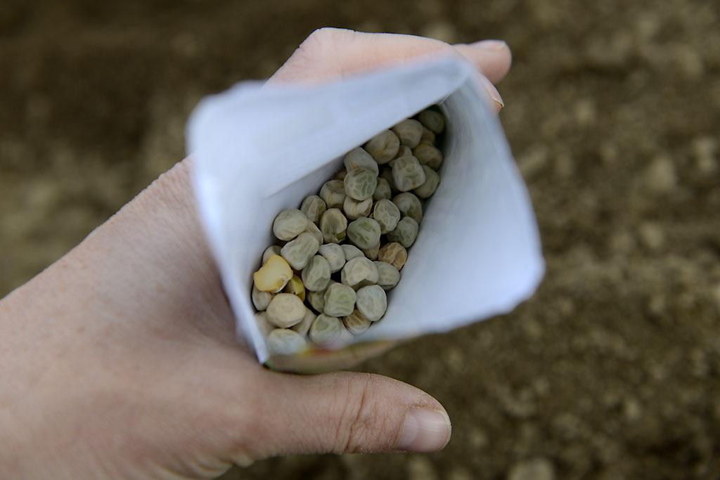 Die Erbse (Pisum sativum) baue ich jedes Jahr an . . .