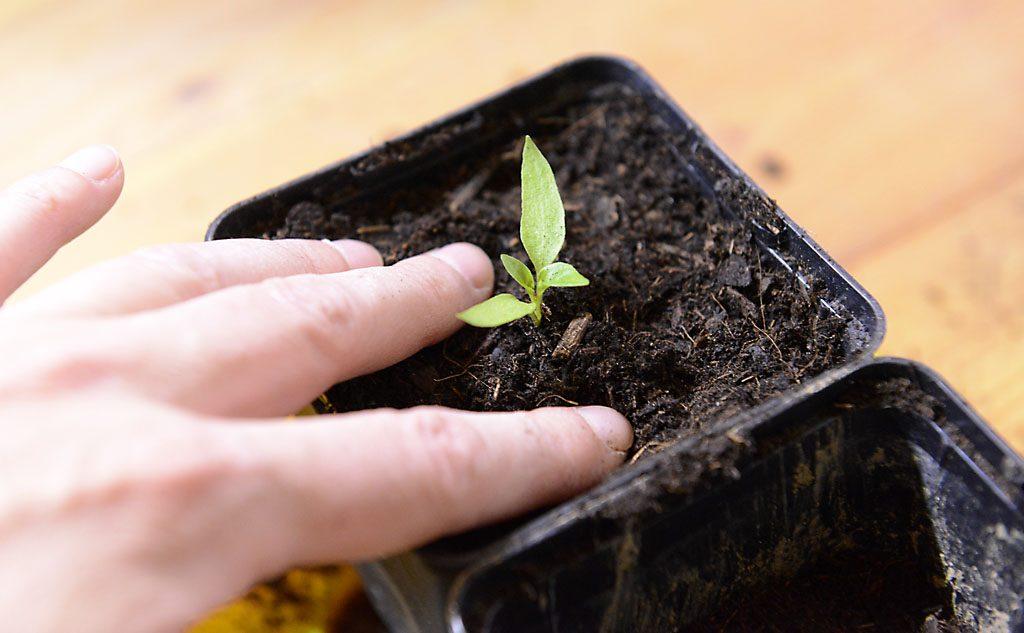 Petzis Garten und Küche: Vorziehen und Umtopfen