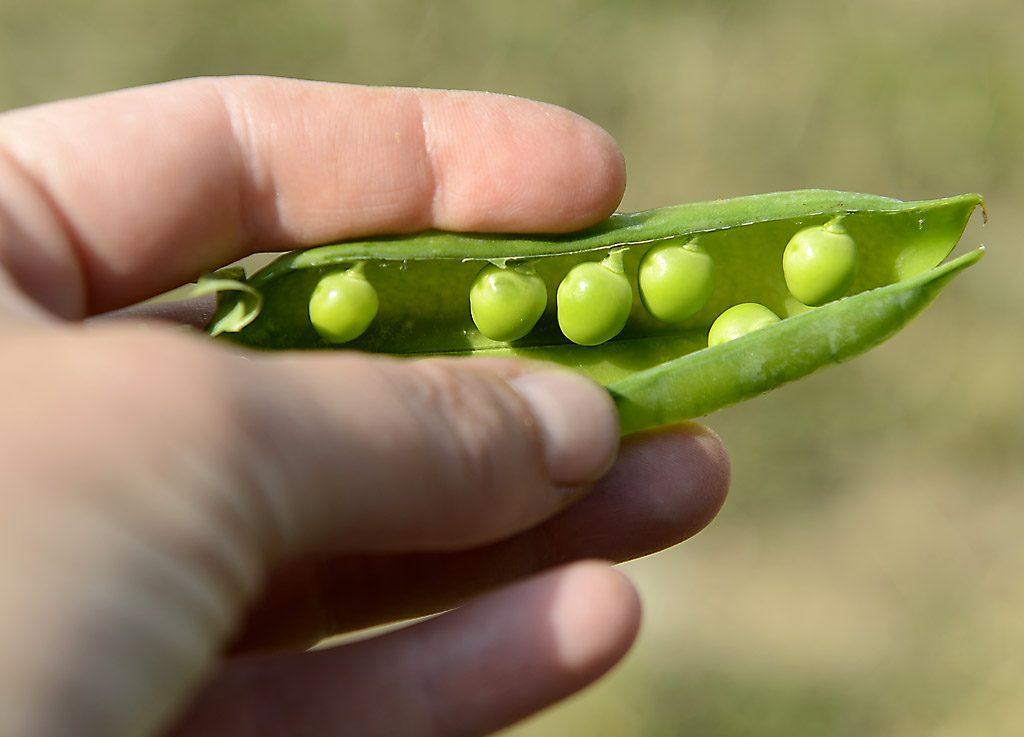 Petzis Garten und Küche: Erbsen sind zum Essen bereit