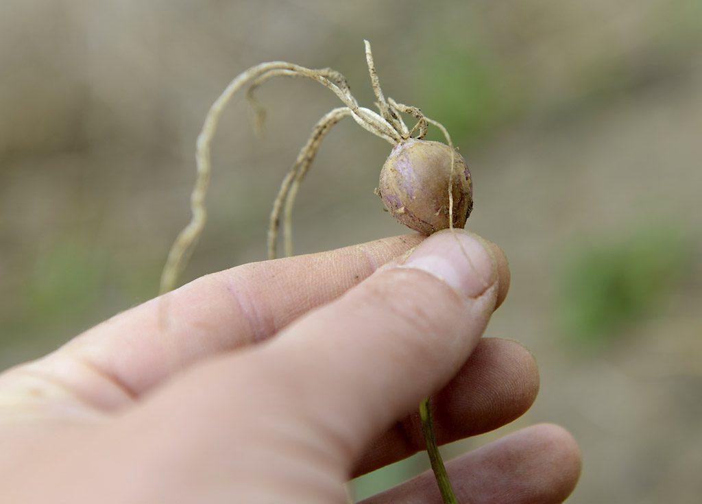 Petzis Garten und Küche: Knoblauch vermehren . . .