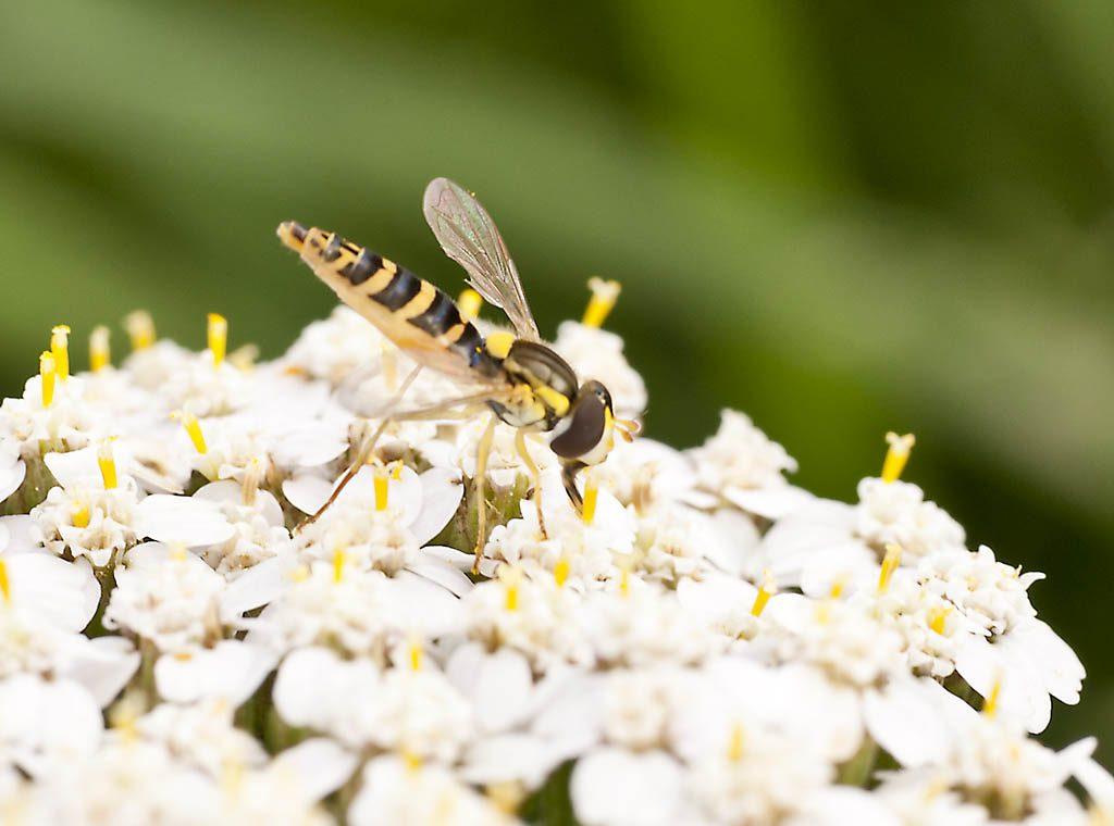 Petzis Garten und Küche: Nützlinge im Garten: Schwebfliege
