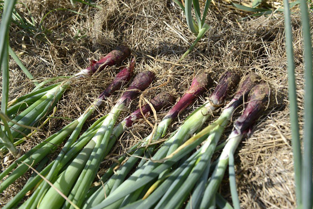 Petzis Garten und Küche: Die Zwiebel blüht bereits - was tun?