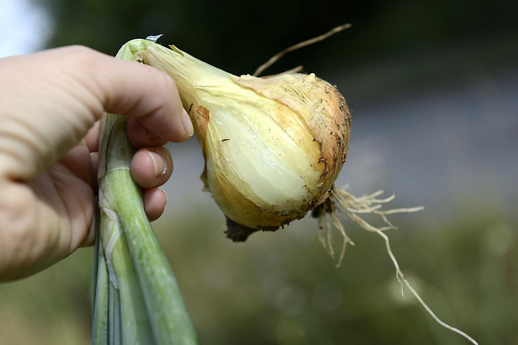 Tipp: Wenn die Zwiebel liegt, gehört sie geerntet . . .